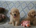 纯种金毛幼犬出售 毛色华丽气质高雅金毛 黄金血统