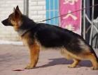 安徽出售德国牧羊犬具体哪里有卖的价格怎样
