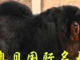 神犬来自东方星星闪耀獒坛中国鸿丰獒园出售精品幼獒