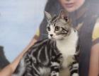 出售CFA美国短毛猫两母六公