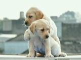 济南 完美品相 公母齐全 签协议纯种健康 拉布拉多犬