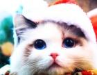 出售布偶猫 金吉拉 折耳猫 短毛猫 英短美短 加菲猫