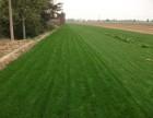 北京哪里卖丹麦草,草坪价格,种丹麦草,铺草坪,草皮卷