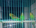 10块一只出四只绿色虎皮鹦鹉成鸟