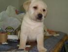 狗場出售三個月純種拉布拉多,疫苗齊全健康保障