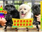 拉布拉多犬 健康 高品质 完美售后 质保三年