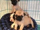 专业繁殖 巴哥犬 上门八百出售 包健康签协议送用品