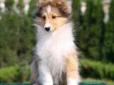 超级完美毛色帅气的喜乐蒂宝宝出售适合家庭伴侣犬