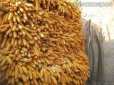优质玉米种子零售批发高产玉米种