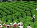 庐山西海220亩茶园出租