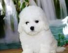 小而可爱的棉花糖 比熊宝宝出售 纯种健康