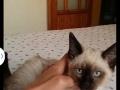 自家繁殖暹罗猫,