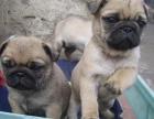 狗場出售三個月純種巴哥,疫苗齊全健康保障
