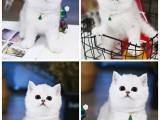 深圳斯芬克斯无毛猫出售 纯种幼猫