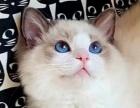 双色布偶猫咪幼猫健康纯正