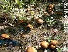 东北土特产蘑菇批发