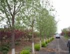 铜州8-30公分白蜡树出售超低价格 全国优