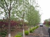 长春优质品种出售合欢树在