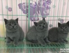 广州家养 长期出售多个品种宠物猫 品相靓 健康保障