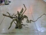 出售绝对极品的树形杜鹃根