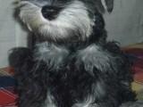 福州哪有雪纳瑞犬卖 福州雪纳瑞犬价格 福州雪纳瑞犬多少钱