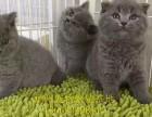 东莞哪里有卖猫纯种健康加菲猫短毛猫折耳猫蓝猫