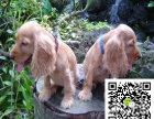 可卡幼犬幼崽多少钱 纯种可卡幼犬多少钱可卡买卖可卡交易