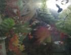 新手练手鱼,精品黑扇,红扇幼鱼,杂孔雀鱼0.5