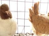 精品观赏玩赏宠物鸽子海鸥彩背仙女摩登那天使特大元宝种鸽乌头…