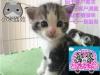 小米猫苑英美短毛猫生