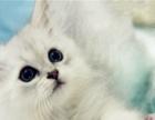 金吉拉幼猫 宠物猫咪活体金吉拉银色
