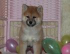 北京 养只狗狗发..柴犬在等着你带它回家.