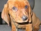 中国专业繁殖双血统腊肠犬犬舍 可以上门挑选