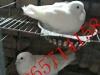 山东省肉鸽养殖
