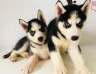 北京出售 哈士奇幼犬 純種健康保障 疫苗驅蟲已做 簽協議