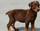 上海哪里有杜宾犬卖 上海杜宾犬价格 上海杜宾犬多少钱