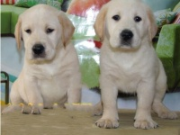 拉布拉多幼犬,性格温顺,聪明活泼,宽嘴大骨量包健康