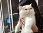 CFA带繁育权加菲猫 MM 猫舍最佳种母 异国短毛猫