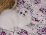 布偶猫 各种品种都有
