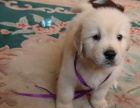 赛级双血统金毛犬火热出售中可视频选狗可上门自提