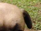 满脸皱纹 憨厚温顺巴哥犬 很丑很温柔的巴哥犬 居家