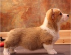 实物拍摄丨短腿性感肥臀纯种柯基犬丨包活丨签协议