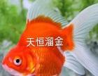红草金,锦鲤,金鱼鱼场批发!