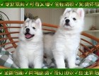 出售賽級哈士奇幼犬,包建康包純種,售后簽協議