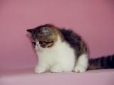 厦门里有卖波斯猫幼犬 厦门纯种波斯猫钱 厦门波斯价格