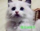 转让)布偶猫 海豹双色 蓝双色——驱虫防疫齐全