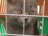 转让纯英国短毛蓝猫非常可爱
