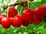 大樱桃苗哪里有卖的 一边倒樱桃苗培育方法