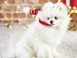 黃南純種博美出售 博美幼犬