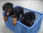 精品罗威纳犬 高品质纯种健康有保障 可签约送货